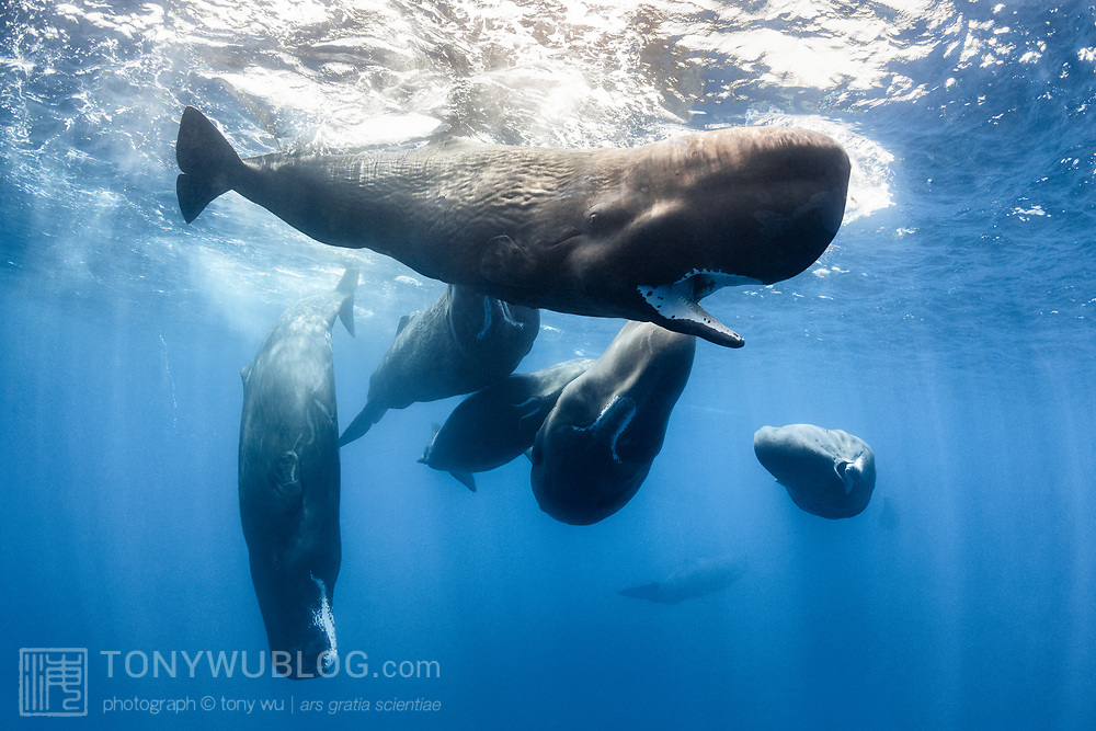 This is a small social unit, or perhaps part of a social unit, of sperm whales (Physeter macrocephalus). There were three young whales in the group. Pictured here is one of the young whales, around seven to eight meters in length, taking an interest in me, with the other members of the social unit visible in the background.
