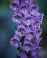Foxglove Flowers. Image taken with a Nikon D850 camera and 105 mm f/2.8 VR macro lens