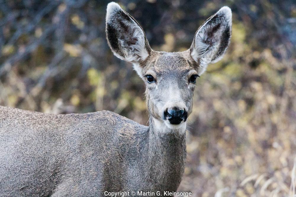 Mule deer doe (Odocoileus hemionus) at the Black Canyon of the Gunnison  National Park.  Colorado
