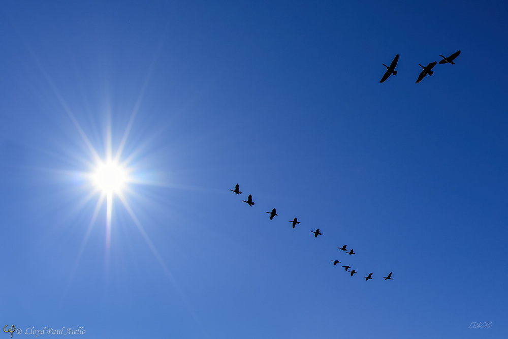 A flock of 15 Canada geese (Branta canadensis) fly south into the sun as they begin their migration to warmer climates for the winter. During migration, Canada geese often fly in a distinctive V-shaped flight formation, at a usual altitude of 1 km (3,000 feet). The maximum flight ceiling of Canada geese is unknown, but they have been reported at 9 km (29,000 feet).<br /> <br /> (single image, no filter)