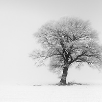 This frozen oak was isolated by the freezing fog