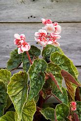 Begonia scharffii