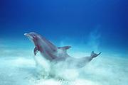 Atlantic bottlenose dolphin, Tursiops truncatus, lifts off bottom after crater feeding for fish buried in sand, White Sand Ridge, Little Bahama Bank, Bahamas ( Western Atlantic Ocean )