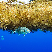 A jack takes shelter under a matt of Sargassum in the Sargasso Sea. The Greenpeace ship Esperanza during its expedition to the Sargasso Sea, a unique region in the North Atlantic Ocean that is home to a diverse array of marine life, including loggerhead and green sea turtles.  The journey will see Greenpeace and University of Florida researchers team up to study the impact of plastics and microplastics on marine life and the importance that the Sargasso's drifting Sargassum seaweed habitat has for the development of juvenile sea turtles.