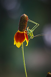 Grasshopper on Mexican Hat wildflower, Los Madrones Ranch in the Hill Country, Texas, USA.