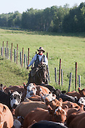 Photo Randy Vanderveen.Near Debolt, Alberta, July 22/08.A cowboy drives cattle into corrals so the bulls could be pulled out and any sick or injured animals could be doctored. The trio performed two drives that day --one cow-calf pairs and bulls and the second heifers and bulls.