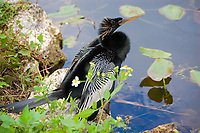 Related to pelican and cormorants, this male anhinga is in breeding full plumage in the Florida Everglades. Common along the wetlands of the Gulf Coast on the United States, this fish-specialist is widely scattered across Central America and can be found throughout the whole of the Amazon River Basin in South America.