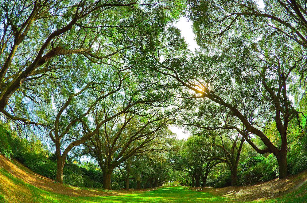 Live oak trees at Charles Towne Landing State Historic Site, Charleston, South Carolina