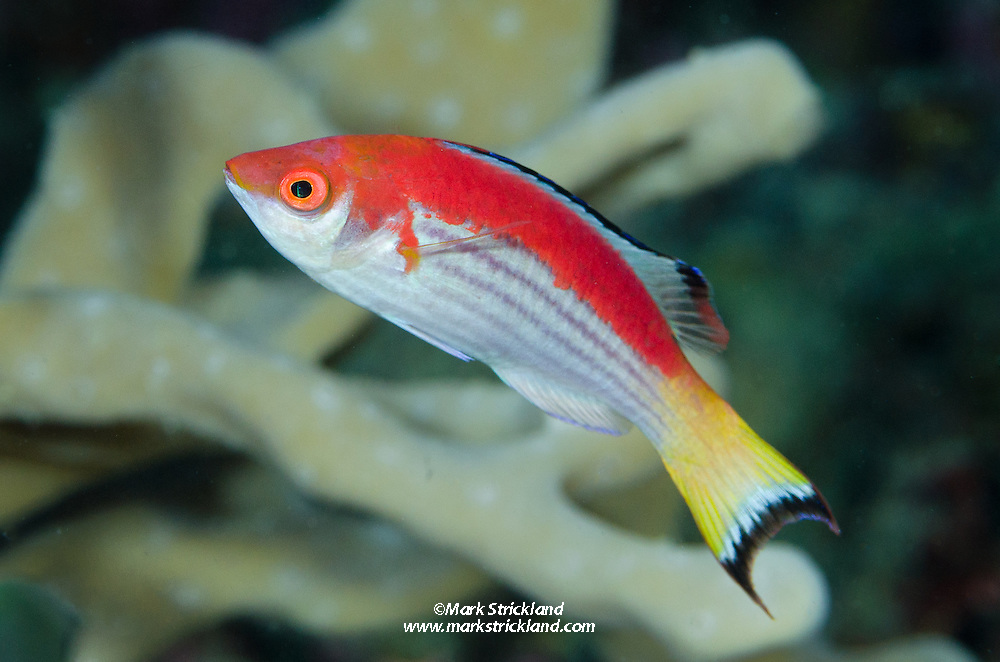 Known only from Fiji, Marjorie's Wrasse, Cirrhilabrus marjorie, inhabits deep rubble areas. This one is a male, which, typical of wrasses, is more colorful than the female. Sailstone Reef, Viti Levu, Fiji, Pacific Ocean