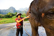 Elephant Hills Luxury Tented Camp in the rainforest in Southern Thailand. The Elephant Experience which offers an opportunity to interact, feed and wash the endangered Asian Elephant.  The mahout gives the elephant a bath.