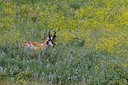Pronghorn Antelope at Custer State Park, South Dakota