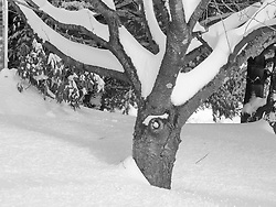 B&W Tree Branches. 27 January 2011 CT Snow Storm After Affects: Better without Colour