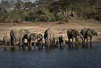A herd of Kalahari Elephants drinking on a riverbank in Chobe National Park Botswana