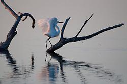 Great Egret (Ardea alba), , Pelican Island National Wildlife Refuge, Vero Beach,  Florida, US