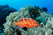 Coral Grouper (Cephalopholis miniata)<br /> Raja Ampat<br /> West Papua<br /> Indonesia
