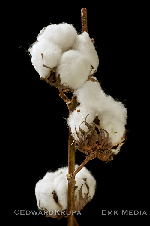 Stalk of cotton on isolated on a black background.