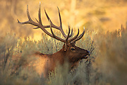 During the fall, a bull elk bugles in Yellowstone's northwest corner of the park.