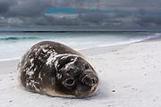 Southern elephant seal pup, Mirounga leonina, resting on a beach.
