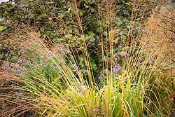 Molinia caerulea subsp. arundinacea 'Karl Foerster' (Bob) or 'Skyracer' (Label)