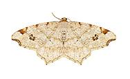 70.211 (1889)<br /> Peacock Moth - Macaria notata