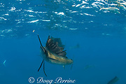 an Atlantic sailfish, Istiophorus albicans, hunting sardines, is distracted by a piece of floating debris, off Yucatan Peninsula, Mexico ( Caribbean Sea )