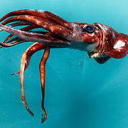 This is a dead mature female Ancistrocheirus lesueuri squid, which is a mesopelagic cephalopod living in the range of 200 to 1000 meters depth. This specimen was found at the surface, floating upside down as pictured here. There are photophores visible on the ventral surface (facing up) and hooks on both clubs of the feeding tentacles. This squid is an important part of the diet of sperm whales in the southern hemisphere. There were many sperm whales in the area when this was photographed. This species is ammoniacal, meaning it stores ammonia ions in the arms, head and mantle tissue for buoyancy. Why this specimen would only float upside-down is unclear. Perhaps the ammonia (which is lighter than sea water) was the cause. This specimen was 40cm to 45cm.