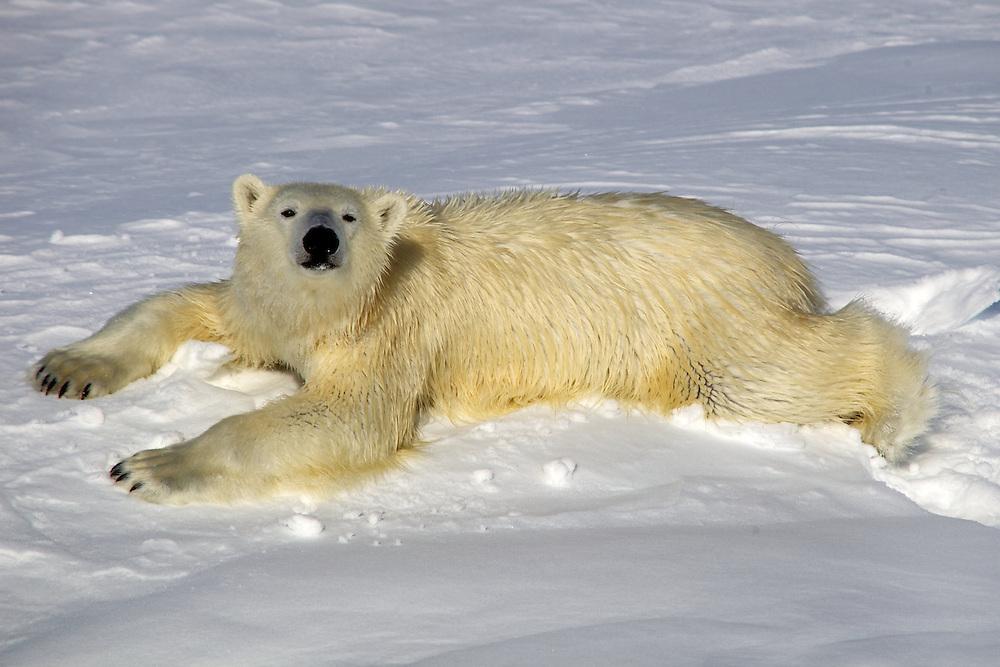 Áritco. Islas Svalbards.Oso polar..© JOAN COSTA