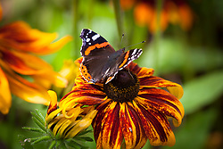 Red Admiral Butterfly on Rudbeckia hirta 'Rustic Dwarf'. Vanessa atalanta
