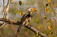 Yellowbilled Hornbill, Kruger National Park, South Africa