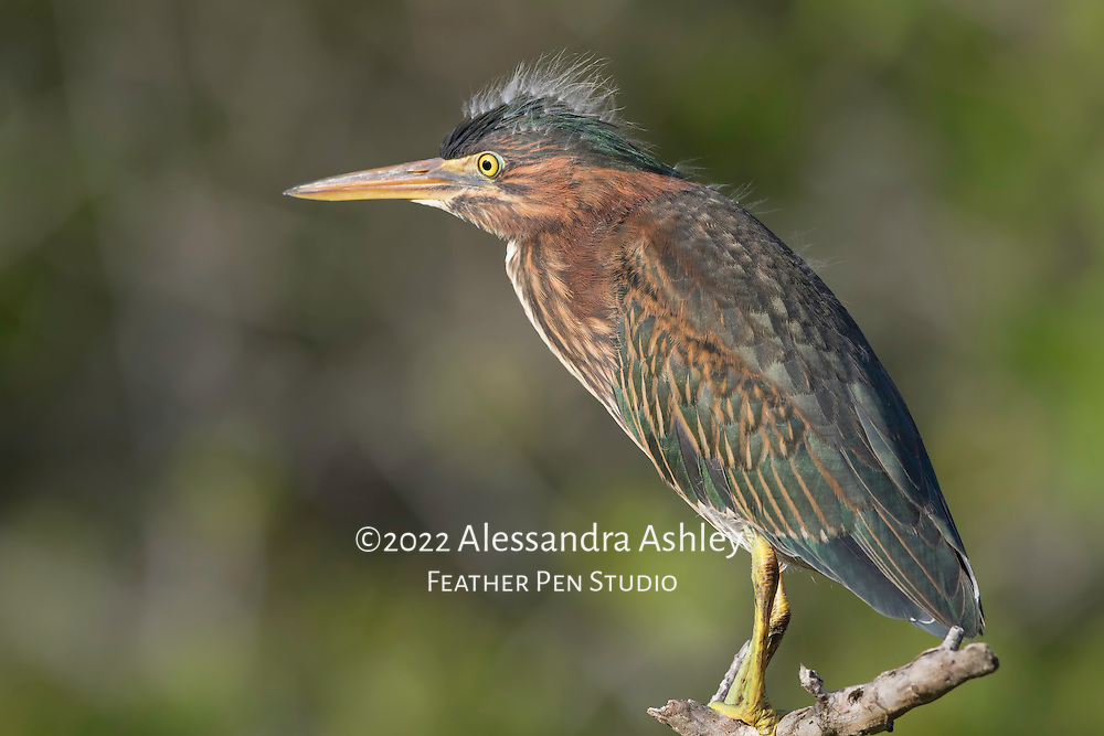 Immature green heron, Butorides virescens, perched on branch while patiently watching for fish in the water below. Merritt Island NWR, Florida's Atlantic coast.