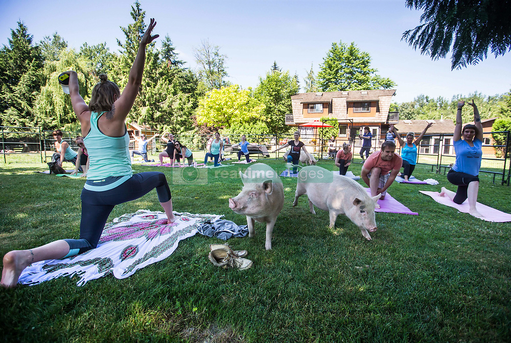 Yoga therapist Surya Stretten, left, leads a yoga session with pigs during a charity fundraiser at The Happy Herd Farm Sanctuary, in Aldergrove, BC, Canada on Sunday June 24, 2018. The not for profit sanctuary held three yoga classes with four pigs on Sunday to raise money to help cover veterinarian costs. The pigs were born at the sanctuary when one of two neglected pot-bellied pigs seized by the SPCA unexpectedly gave birth to a litter of five after being taken in. Photo by Darryl Dyck/CP/ABACAPRESS.COM