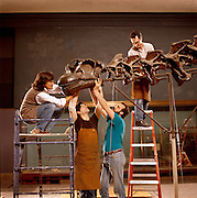 Mark Norell, assistant curator (left) of the American Museum of Natural History, removes a Camarasaurus head from an Apatosaurus (Brontosaurus) mount in 1991, correcting a century-old error.