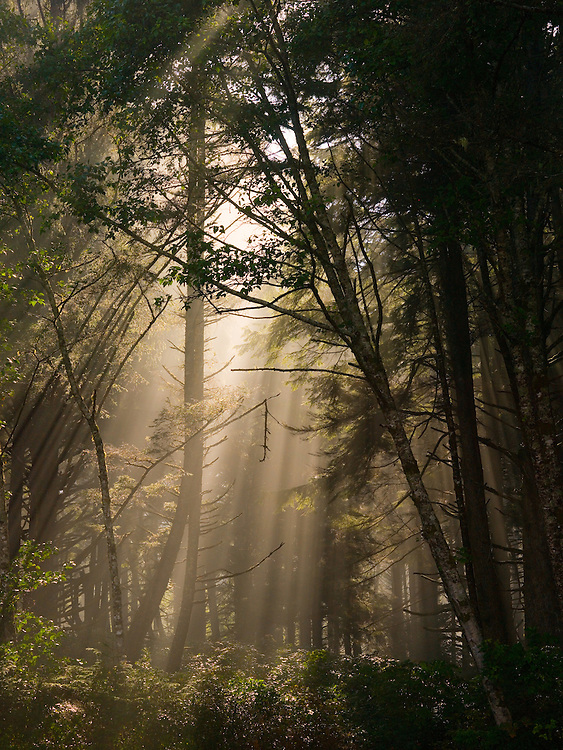 Open Edition<br /> Cape Lookout coastal fog creates mysterious sun rays through the  forest at State Park on the Oregon Coast