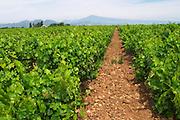 vineyard le cellier des princes chateauneuf du pape rhone france