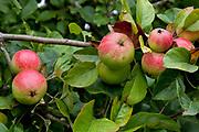 Cider apples on the vine red and green, cider farm, Devon, UK