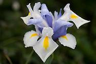 Dutch Iris 'Silvery Beauty'