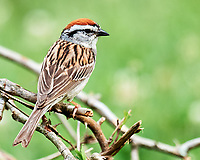 Chipping Sparrow. Image taken with a Nikon D3s camera and 600 mm f/4 VR lens.