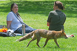 © Licensed to London News Pictures 08/06/2021. Greenwich, UK. A fox looking for food in the garden area. People in Greenwich Park, London sunbathing and enjoying the hot sunny weather today. Photo credit:Grant Falvey/LNP