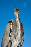 Great Blue Heron (Ardea herodias)<br /> Puerto Ayora. Santa Cruz Island, GALAPAGOS<br /> ECUADOR. South America<br /> RANGE; Alaska, USA to Islands of Venezuela & Galapagos