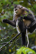 Yunnan, or Black Snub-nosed monkey, Rhinopithecus bieti, eating leaves Ta Cheng Nature reserve, Yunnan, China