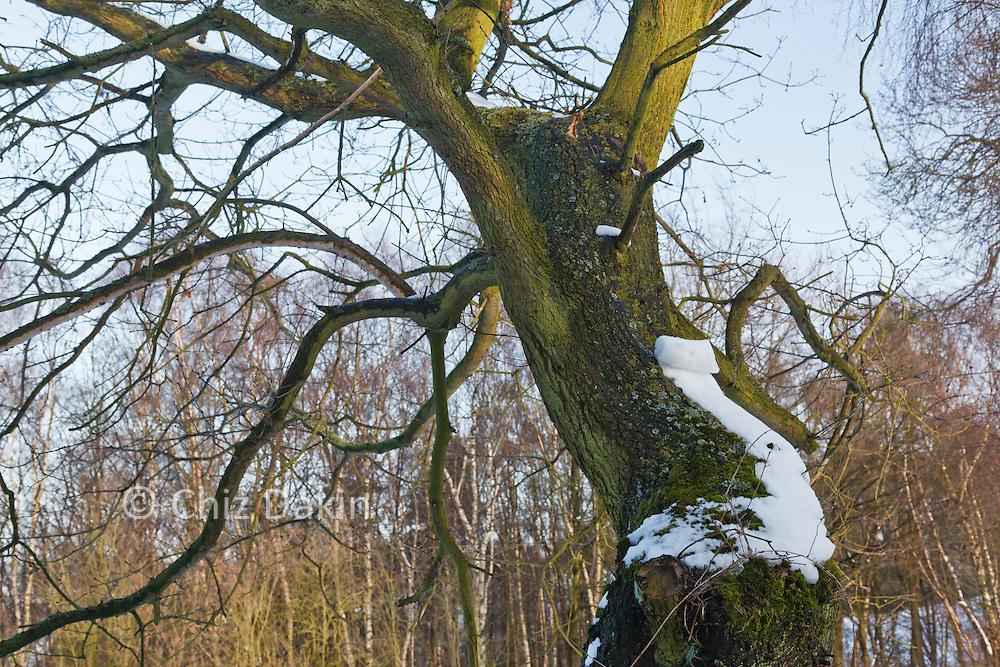Peeling snow on tree - a sunny's winter's day after heavy snowfall