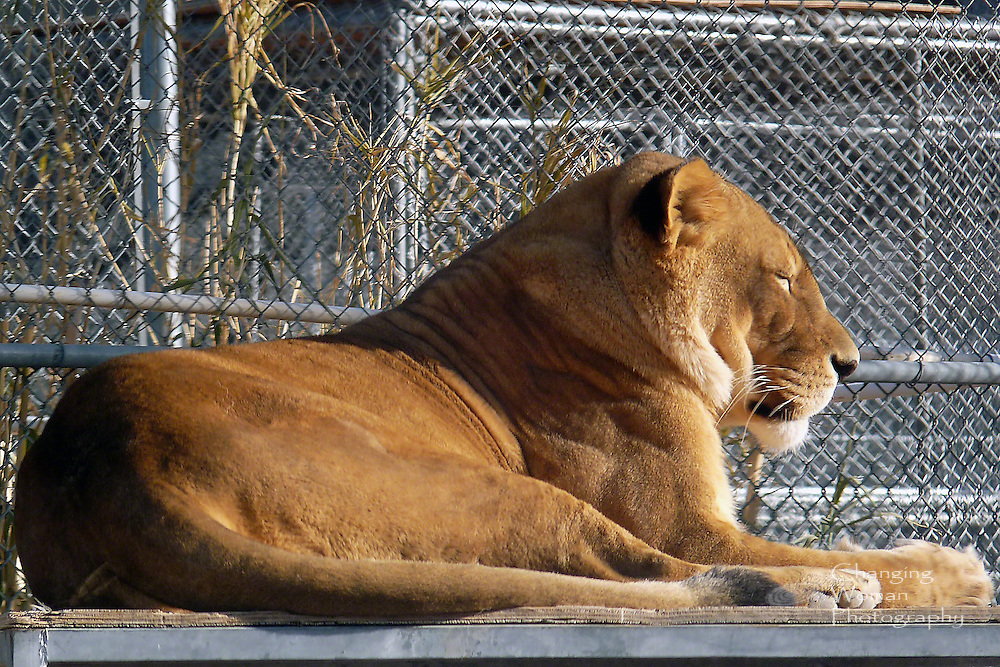 Adult lioness basks in the warm sun on a winter afternoon at Las Vegas's Lion Habitat Ranch.