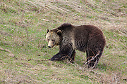 Grizzly bear in habitat