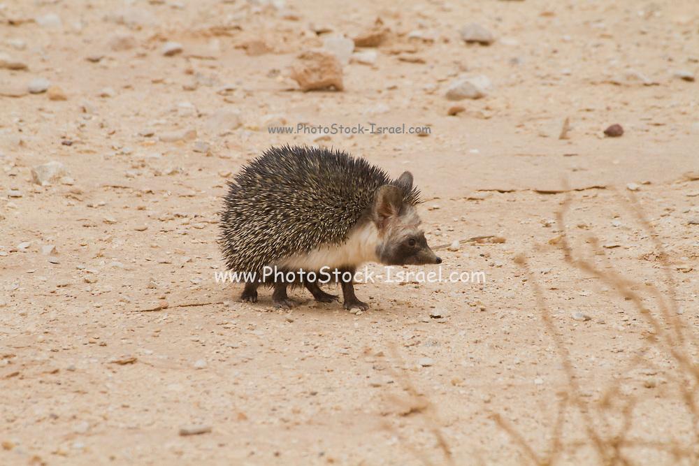 Desert Hedgehog (Paraechinus aethiopicus) negev desert, israel