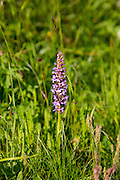 Alpine fragrant orchid wildflower in the Swiss Alps near Zermatt, Switzerland