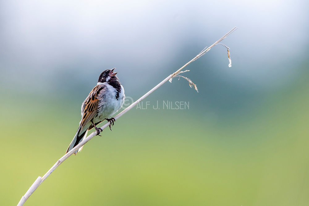 Male common reed bunting (Emberiza schoeniclus) from Vejlerne, northern Denmark.