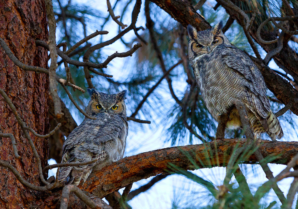 A pair of great horned owls perch on a limb of a Ponderosa Pine, in Central Oregon.