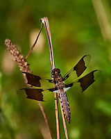 Dragonfly. Sourland Mountain Preserve. Image taken with a Nikon D800 camera and 300 mm f/2.8 lens (ISO 100, 300 mm, f/2.8, 1/2000 sec).