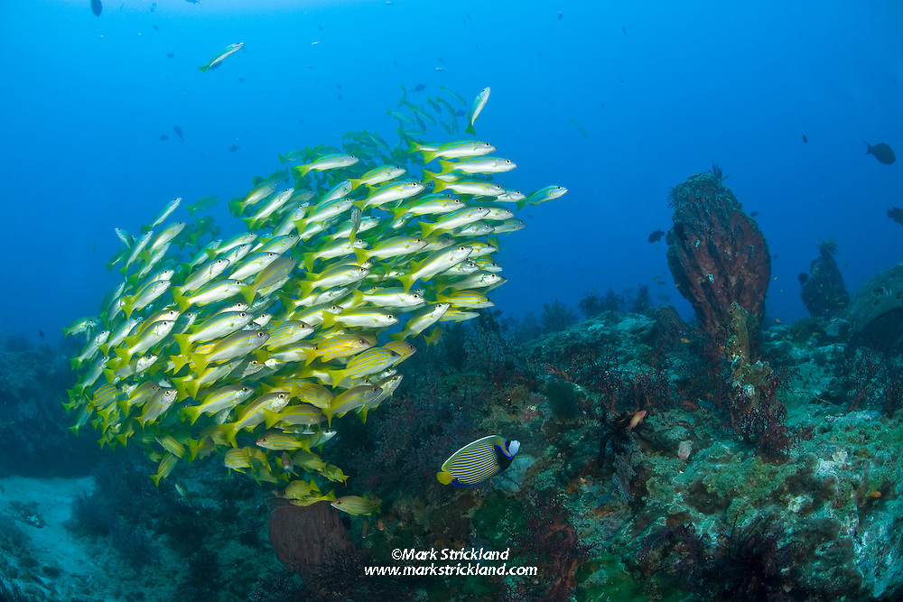 An Emperor Angelfish, Pomacanthus emperator, cruises below a mixed school of several snapper species at an inshore reef known as Dixon's Pinnacle. Andaman Islands, India, Andaman Sea