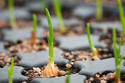 Emerging garlic plants in module tray